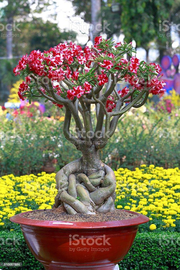 Adenium obesum tree or desert rose in flowerpot. stock photo