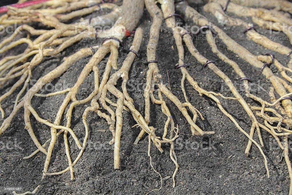 Adenium Root stock photo