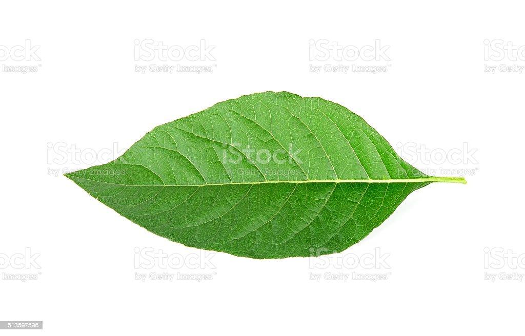 Adhatoda vasica or medicinal Basak leaf isolated on white stock photo