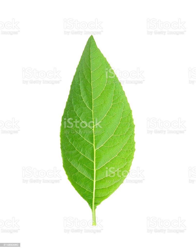 Adhatoda vasica or medicinal Basak leaf stock photo