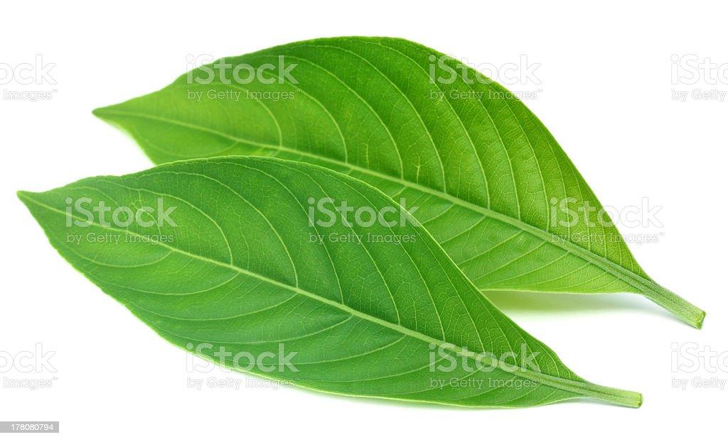 Adhatoda vasica or medicinal Basak leaves stock photo