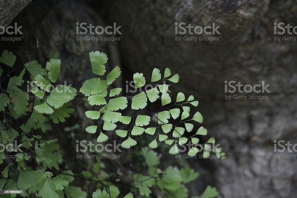 Adiantum in tropical rainforest royalty-free stock photo