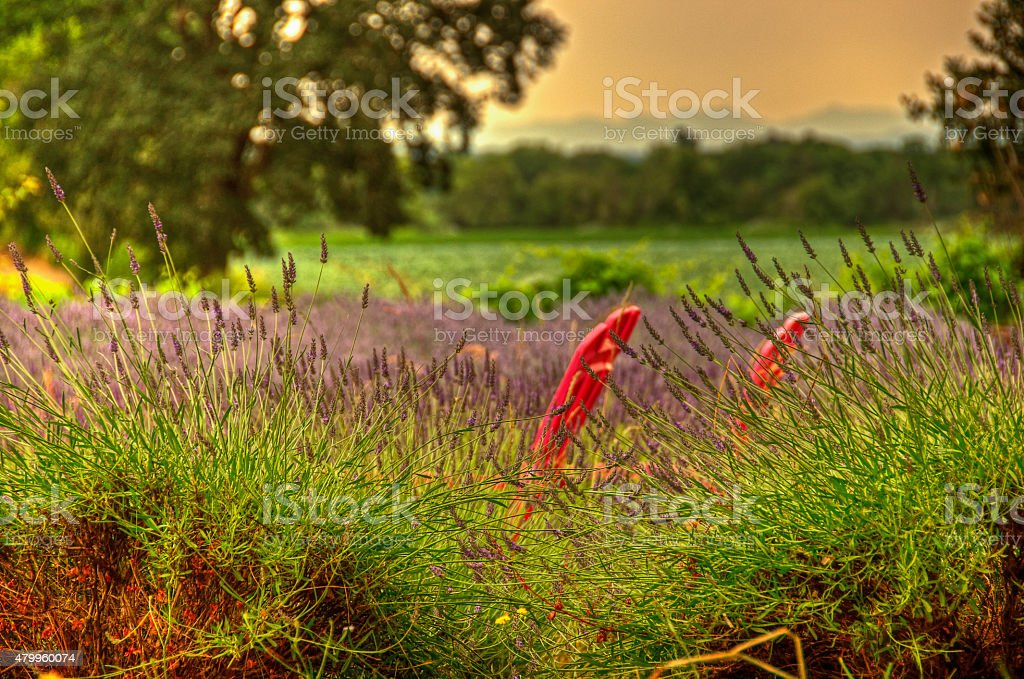Adirondack chairs in lavender field stock photo