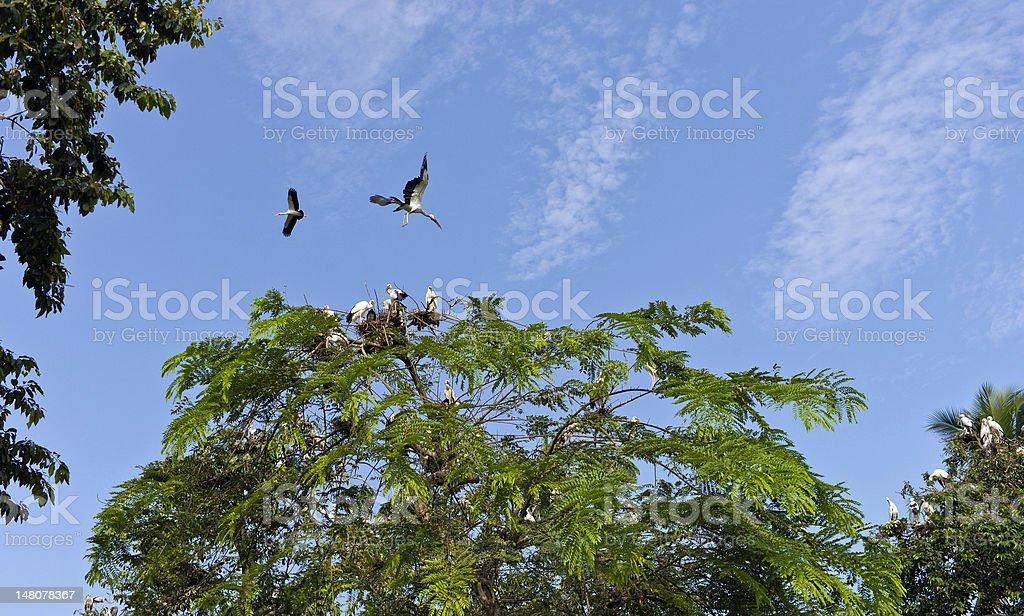 Adjutant Storks, roosting & nesting, Majuli, Assam, India stock photo