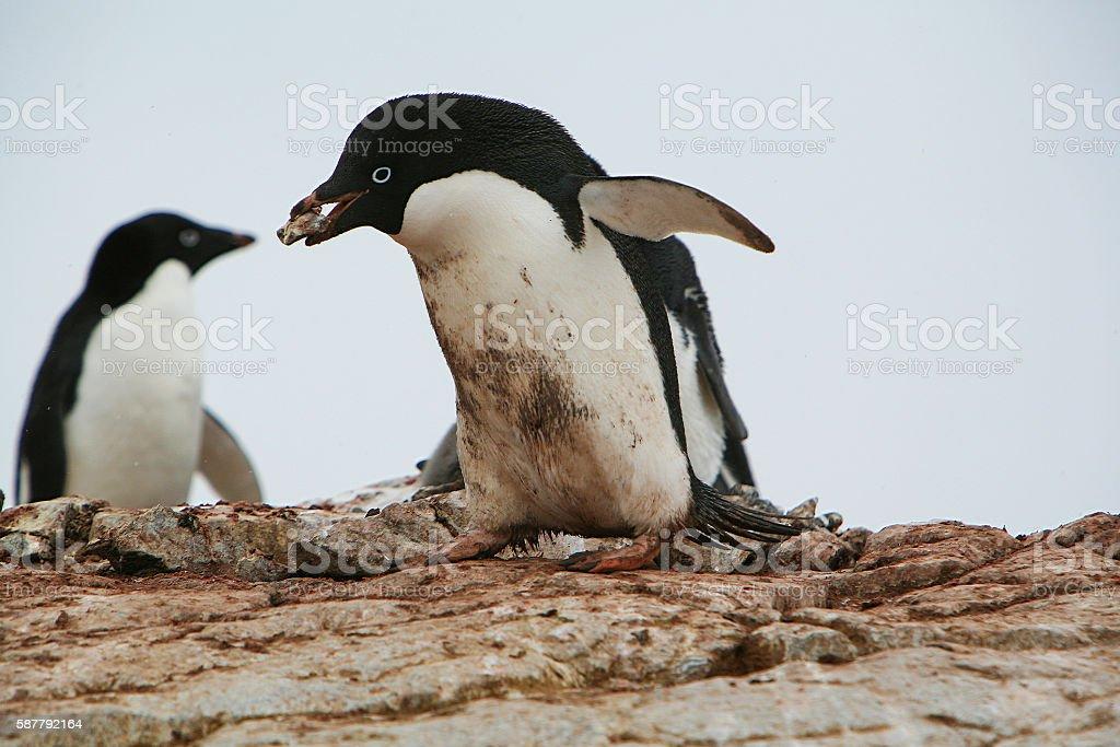 Adélie penguin carrying stones to its nest in Antarctic Peninsula stock photo