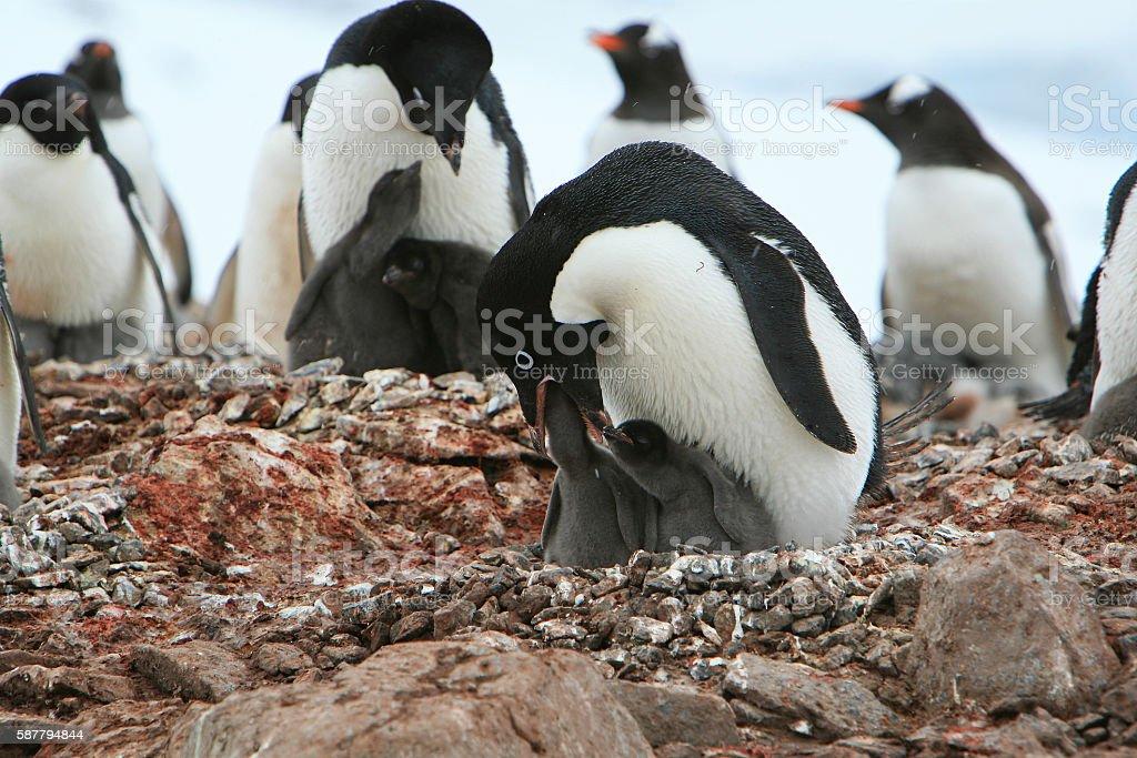 Adélie penguin feeding its chicks in Petermann Island, Antarctic Peninsula stock photo