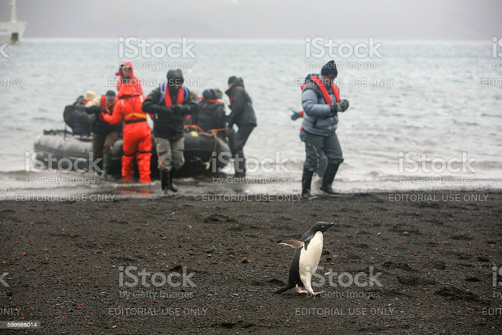 Adélie penguin fleeing a group of tourists in Antarctica. stock photo