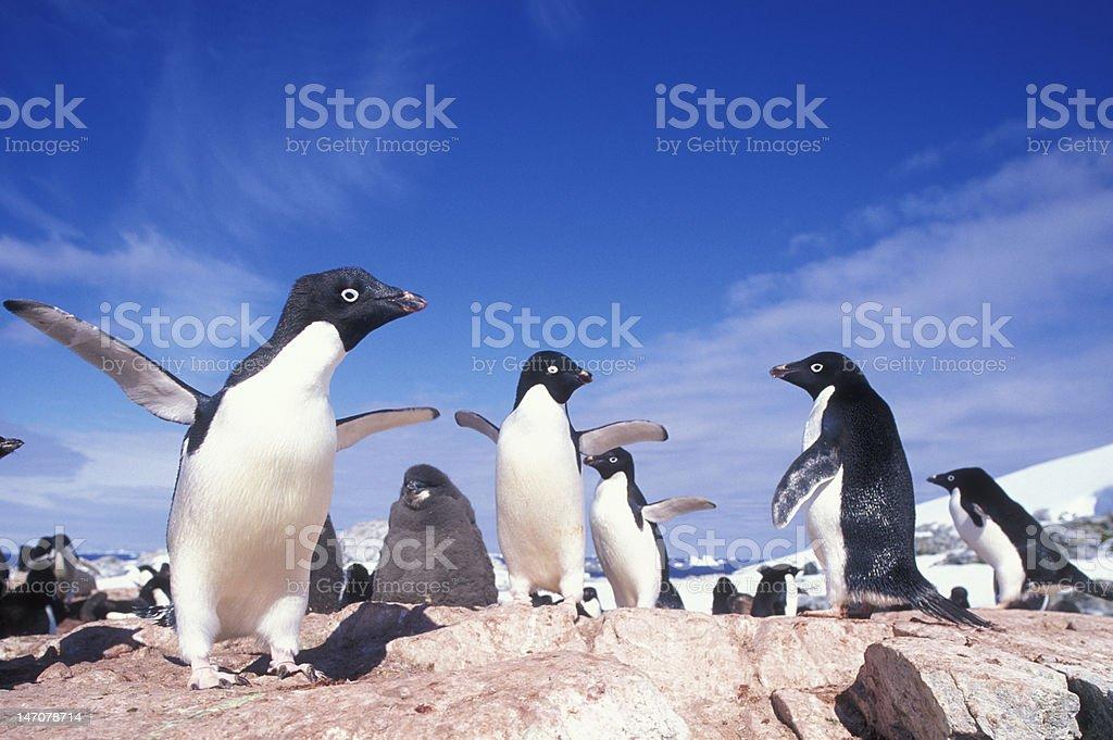 Adélie Penguins, Antarctica stock photo