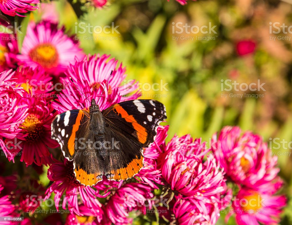 admiral butterfly at the flower stock photo