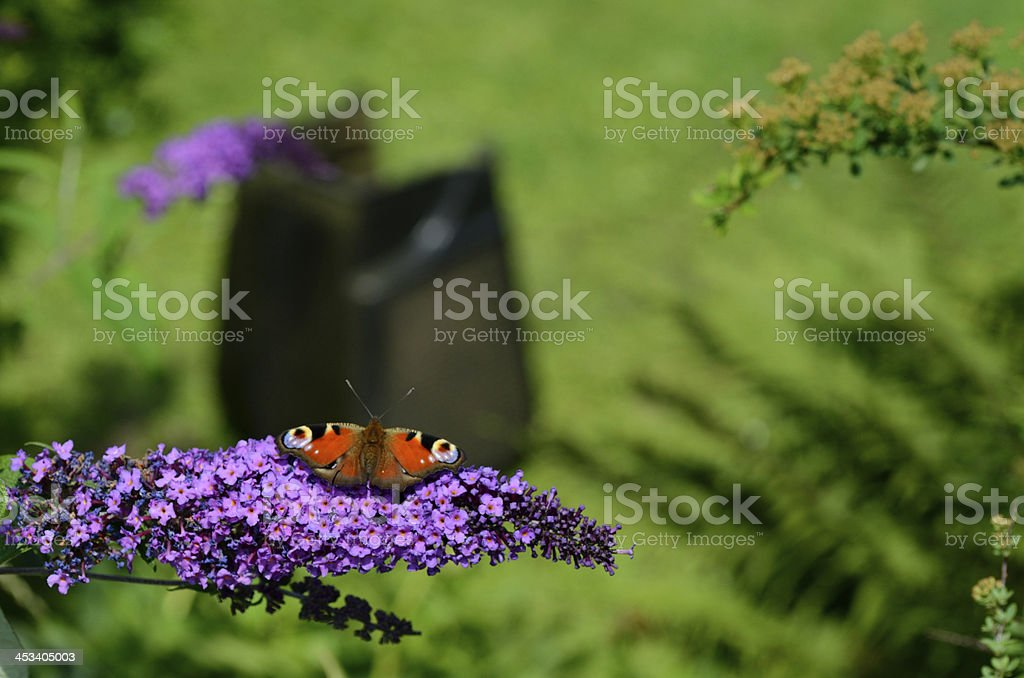 admiral butterfly on lilac stock photo