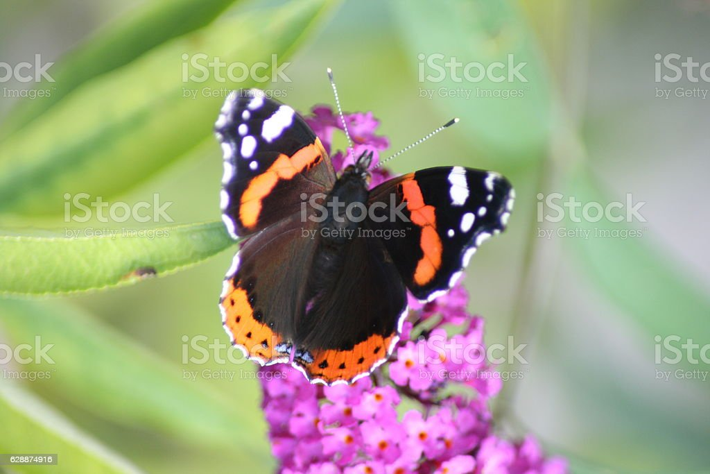 Admiral,'vanesa atalanta' stock photo