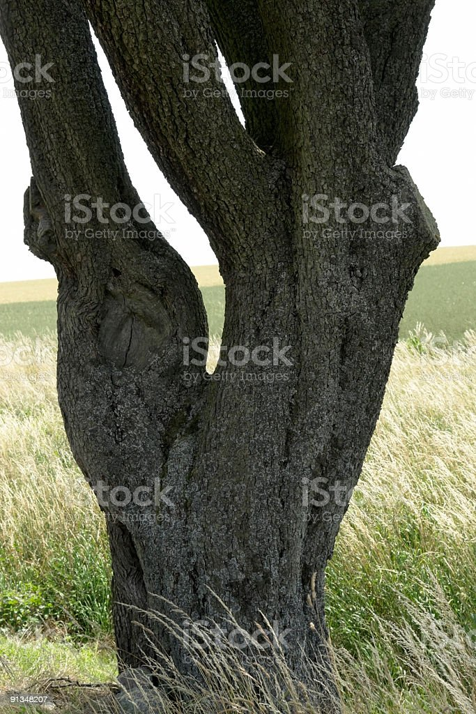 adnate old tree trunk stock photo
