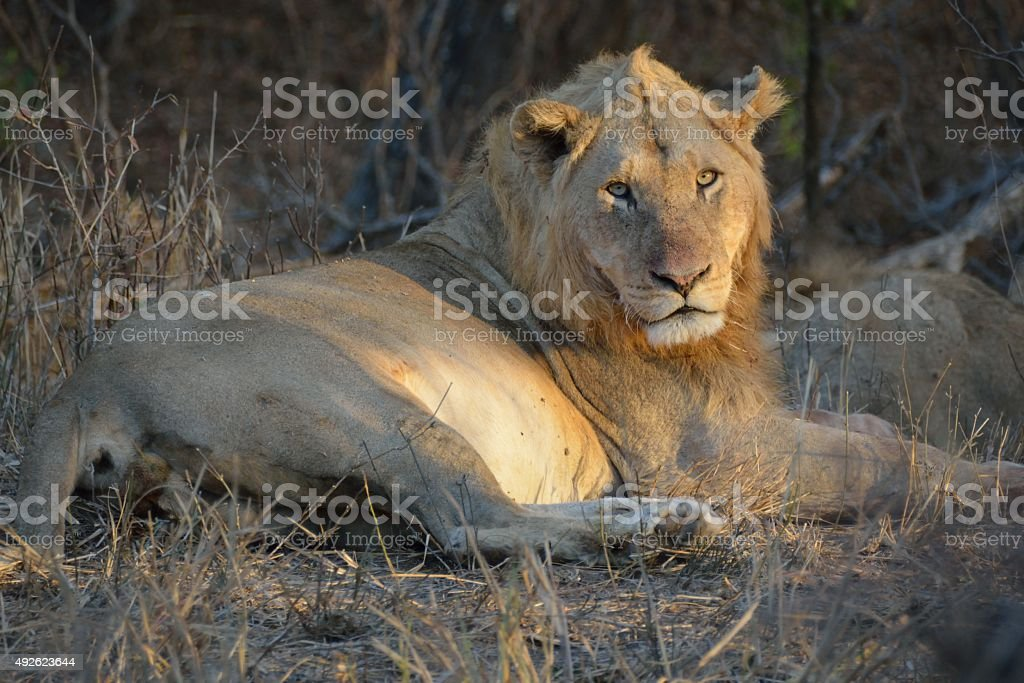 Adolecent male lion relaxing in the early morning light stock photo