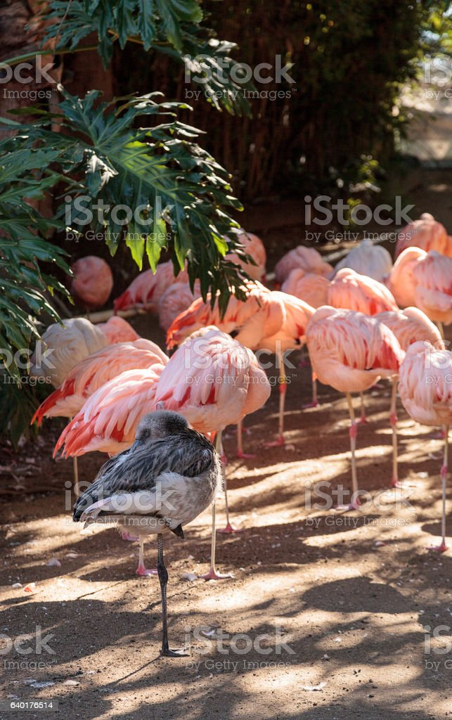 Adolescent gray Chilean flamingo stock photo