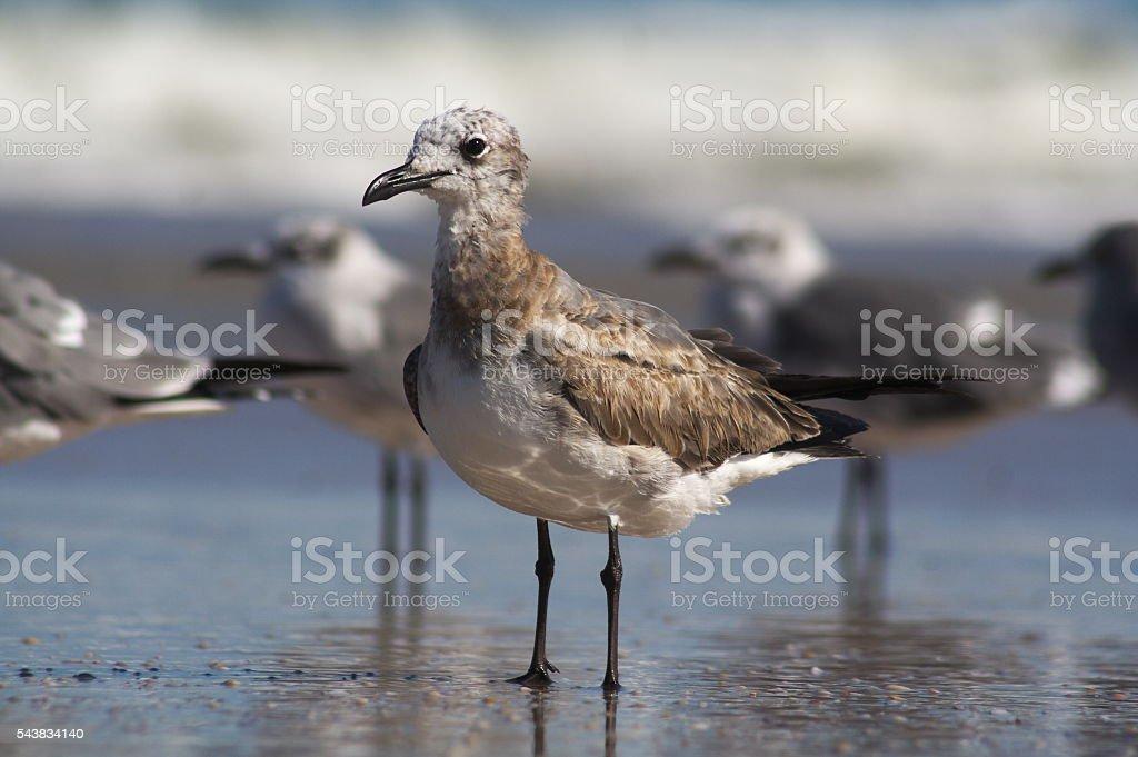 Adolescent Gull stock photo