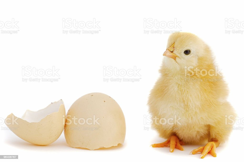 Adorable baby chick royalty-free stock photo