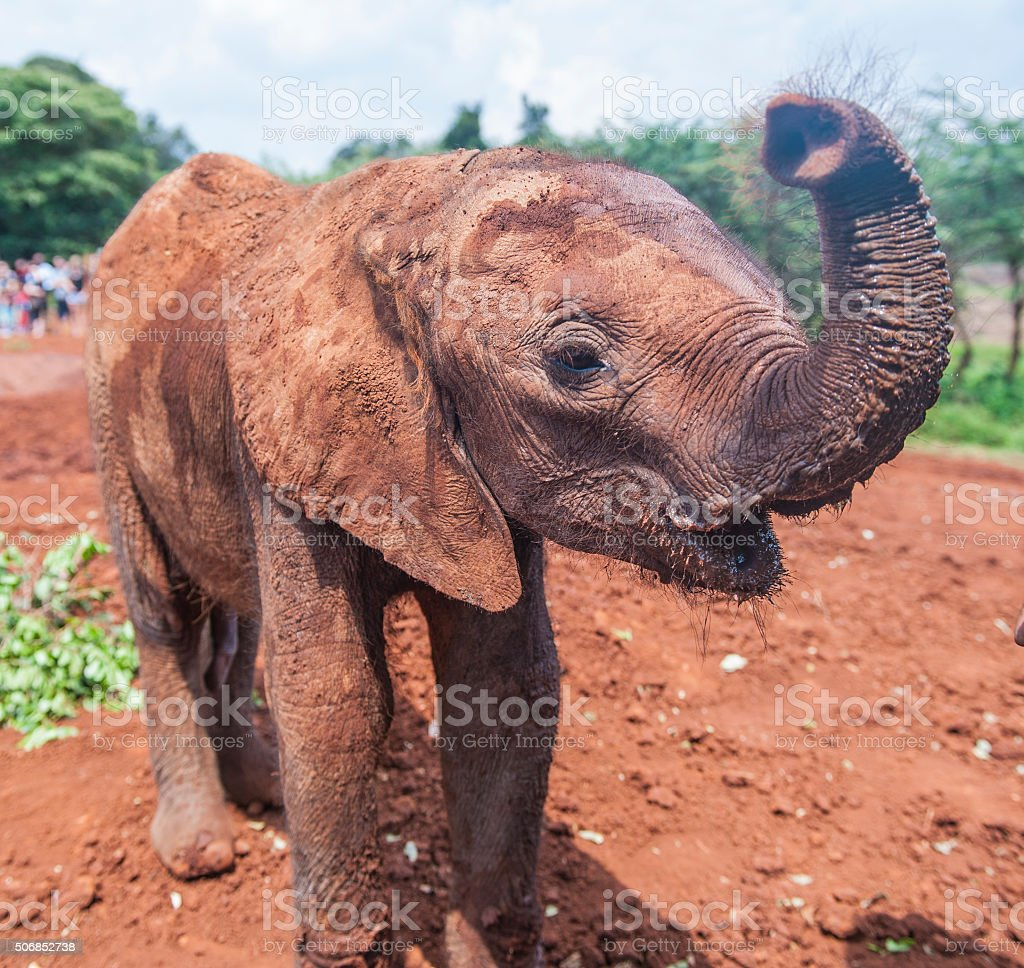 Adorable Baby Elephant Waves at the Camera stock photo