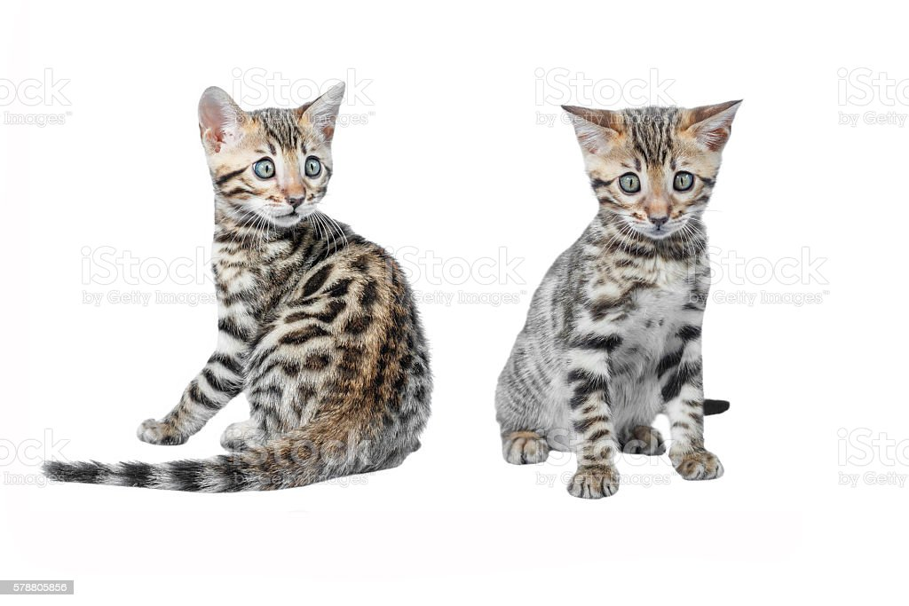 Adorable Bengal Kittens isolated on white background collection stock photo