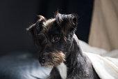 Adorable black dog portrait