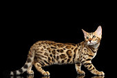 Adorable breed Bengal Cat isolated on Black Background