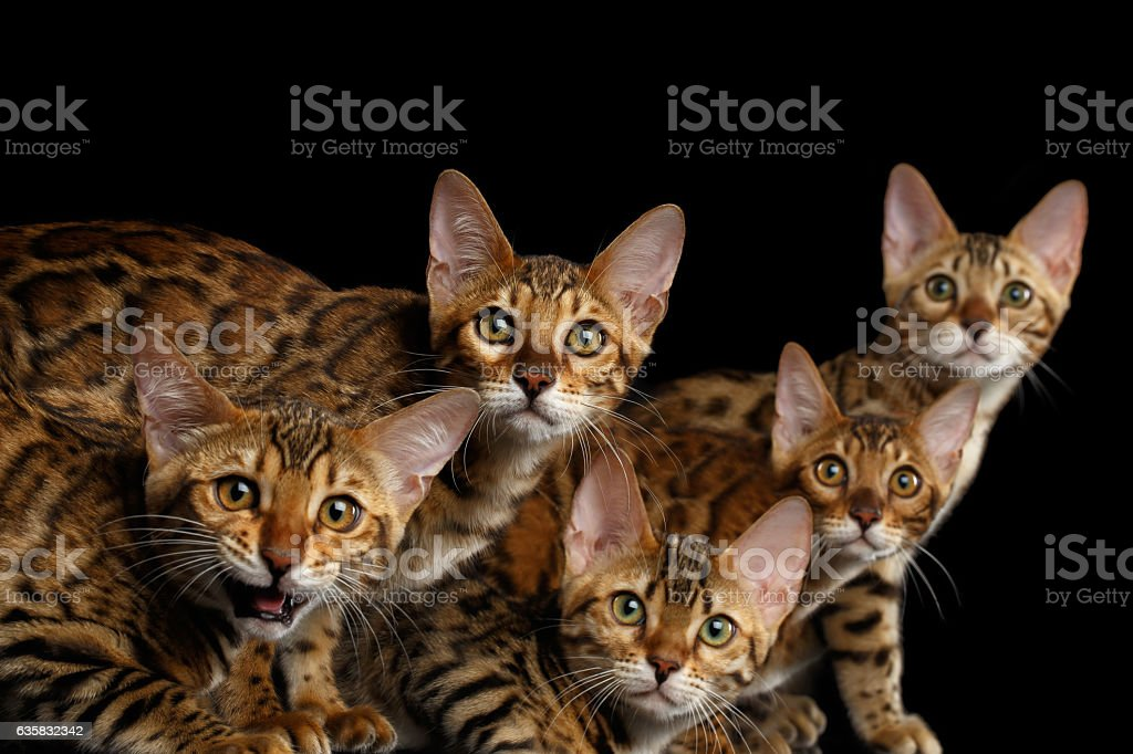 Adorable breed Bengal kittens isolated on Black Background stock photo