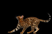 Adorable breed Bengal kitty isolated on Black Background