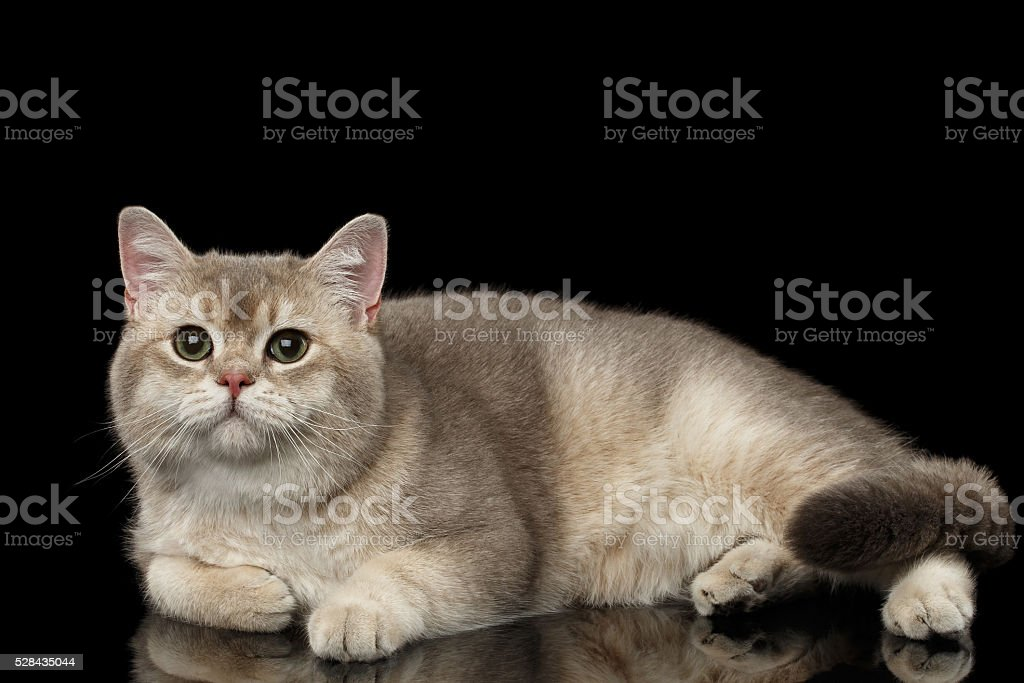 Adorable British Cat with green eyes Lying, isolated on Black stock photo