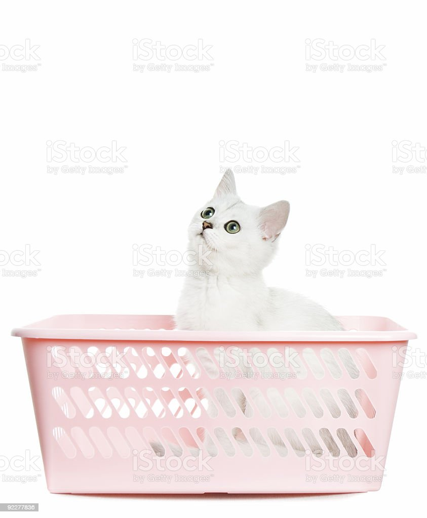 Adorable british kitten sitting in basket and looking up. royalty-free stock photo