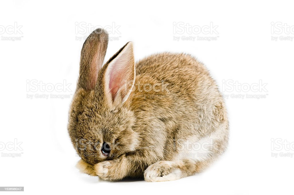 Adorable brown baby bunny using paws to hide face royalty-free stock photo