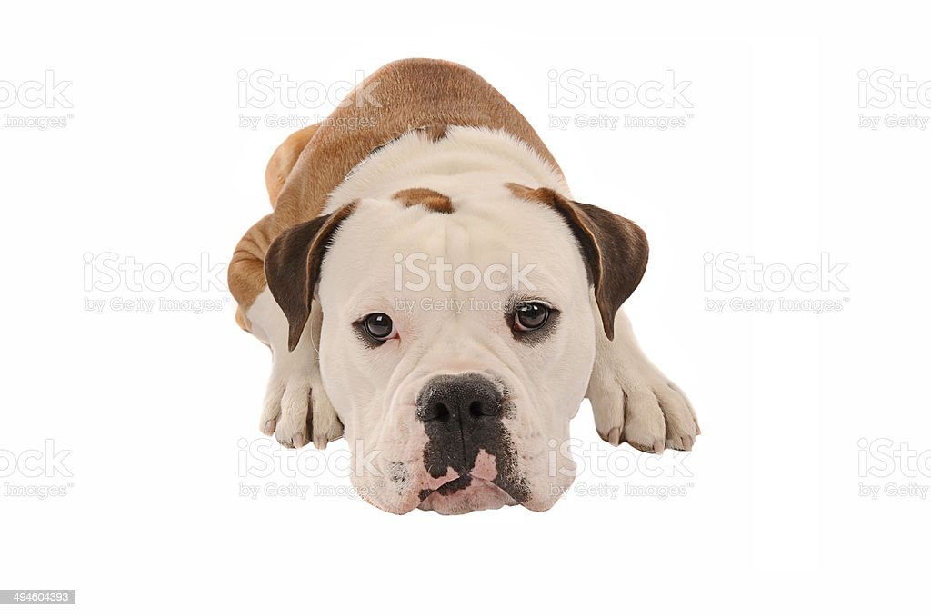 Adorable bulldog laying down on a white background stock photo