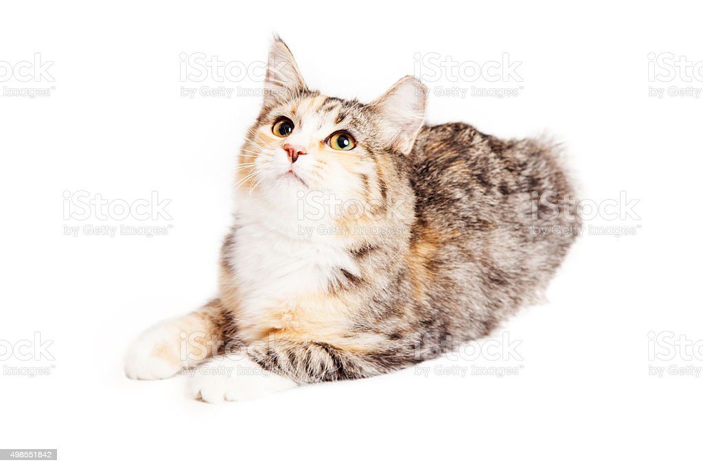 Adorable Calico Kitty Looking Up stock photo