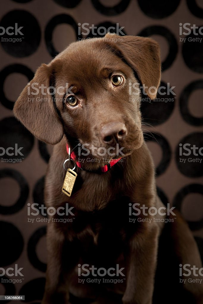 Adorable Chocolate Lab Puppy Looking Curiously at Camera stock photo