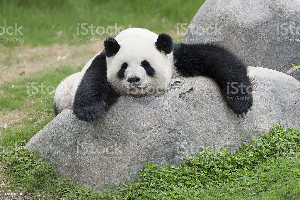 Adorable chubby panda resting on a rock outside stock photo