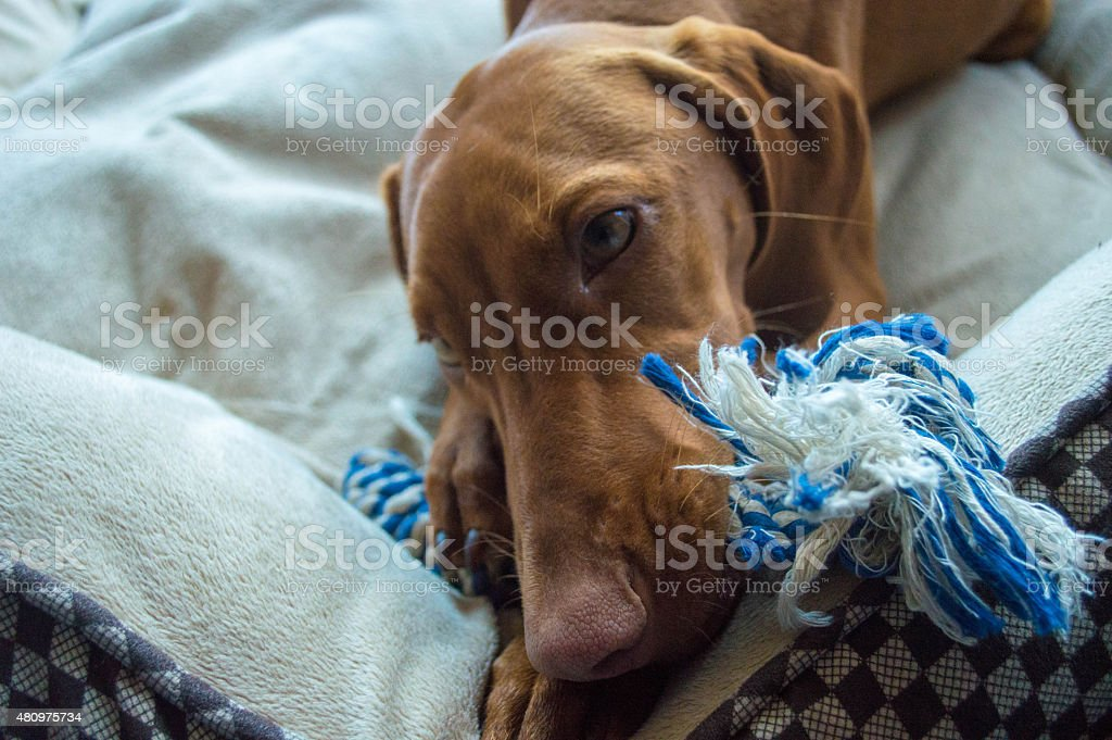 Adorable Dog Chewing on Toy stock photo