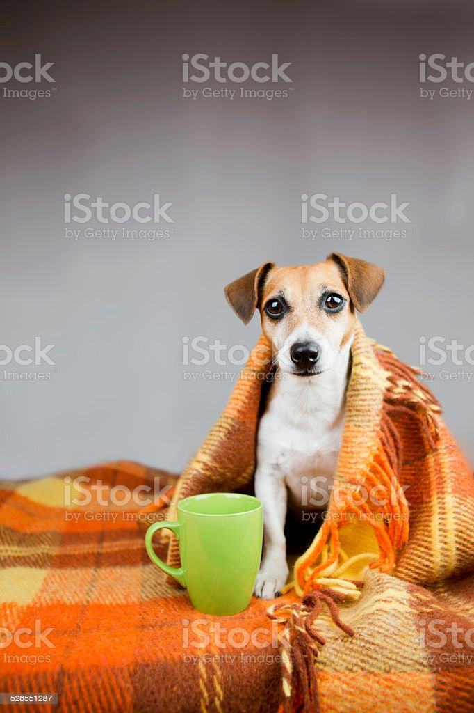 Adorable dog Jack Russell terrier and cup of tea stock photo