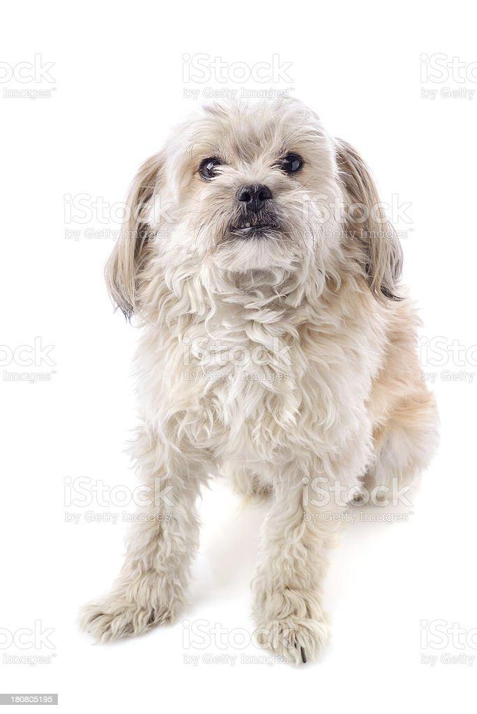 Adorable Dog royalty-free stock photo
