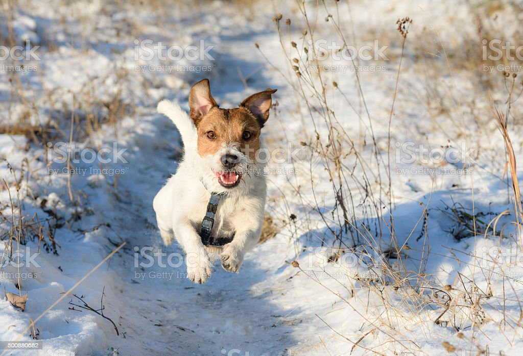 Adorable dog running by winter path stock photo