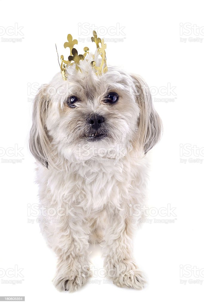Adorable Dog With A Crown royalty-free stock photo