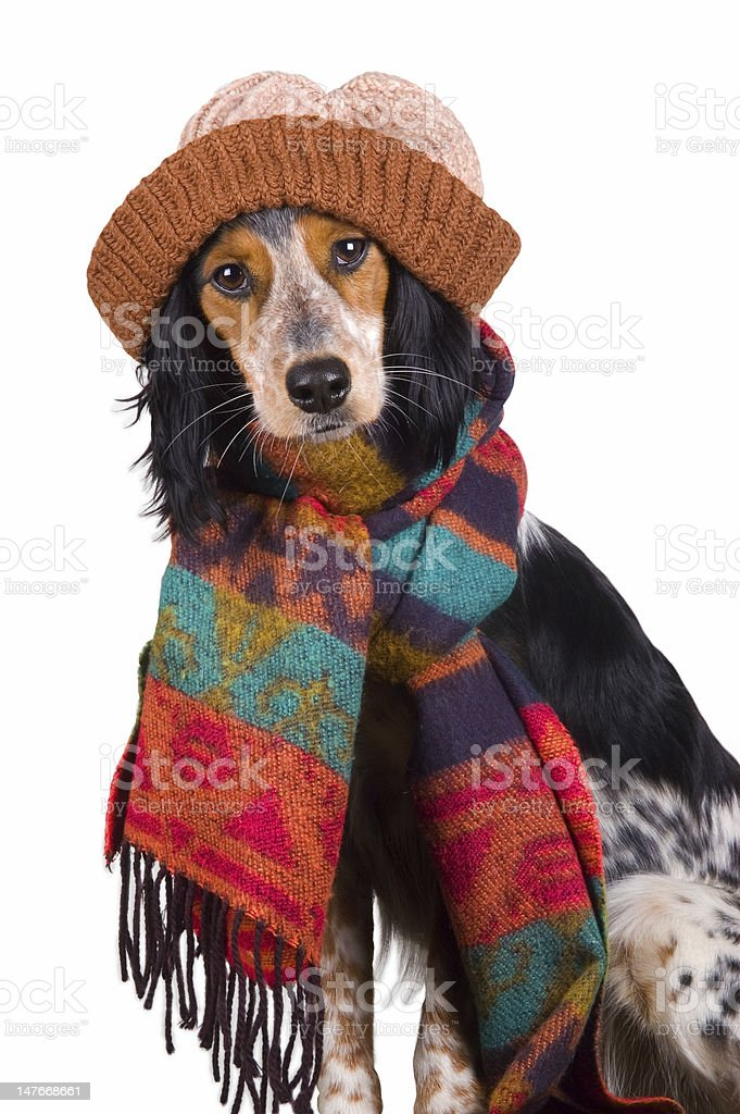 Adorable dog with hat royalty-free stock photo