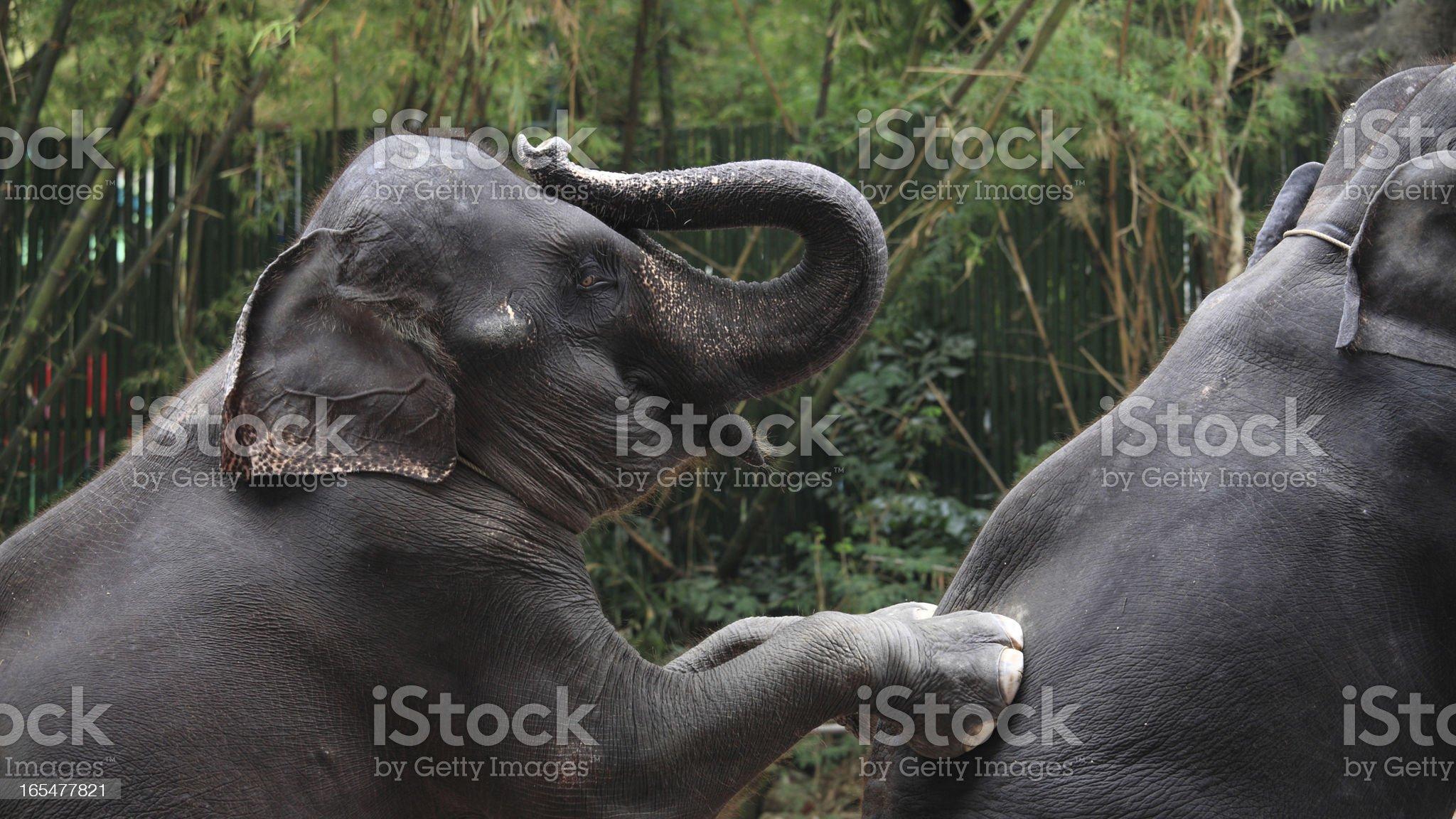 Adorable elephants show royalty-free stock photo