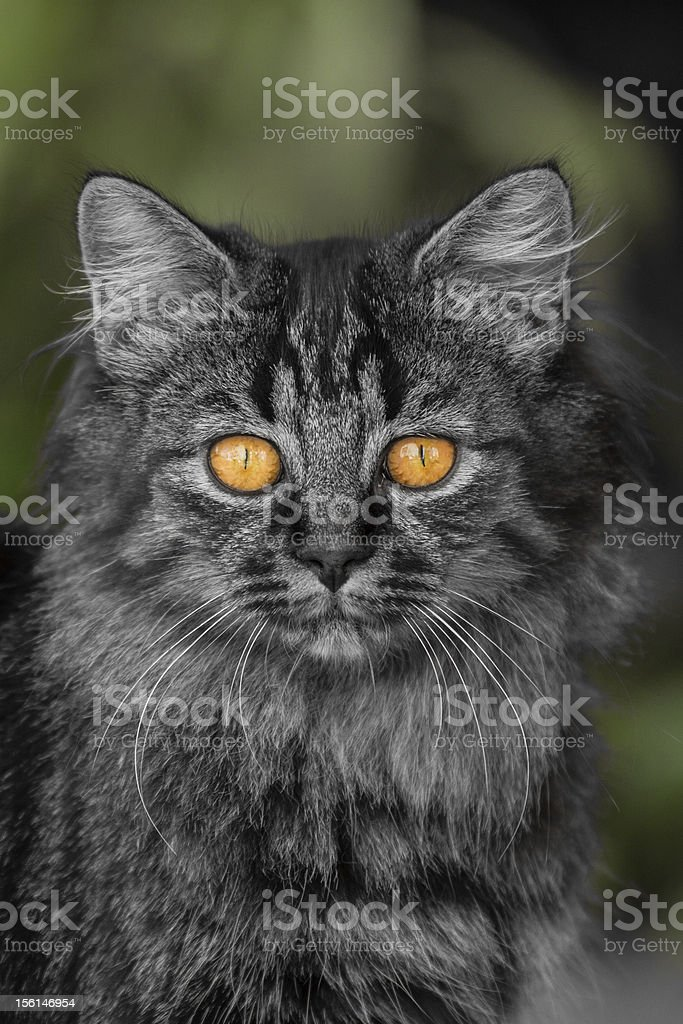 Adorable fluffy kitten in black and white royalty-free stock photo