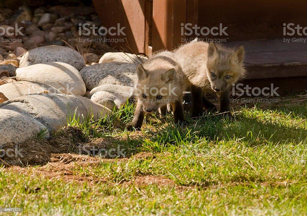 Adorable Fox Pups stock photo