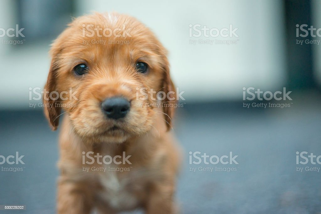 Adorable golden cocker spaniel puppy stock photo