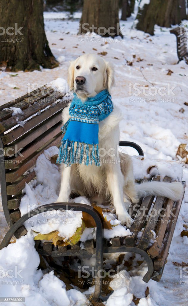 Adorable golden retriever dog wearing blue scarf sitting on snow. Winter in park. Horizontal, selective focus. stock photo