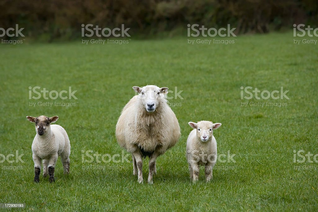 Adorable Irish sheep in a green pasture. royalty-free stock photo