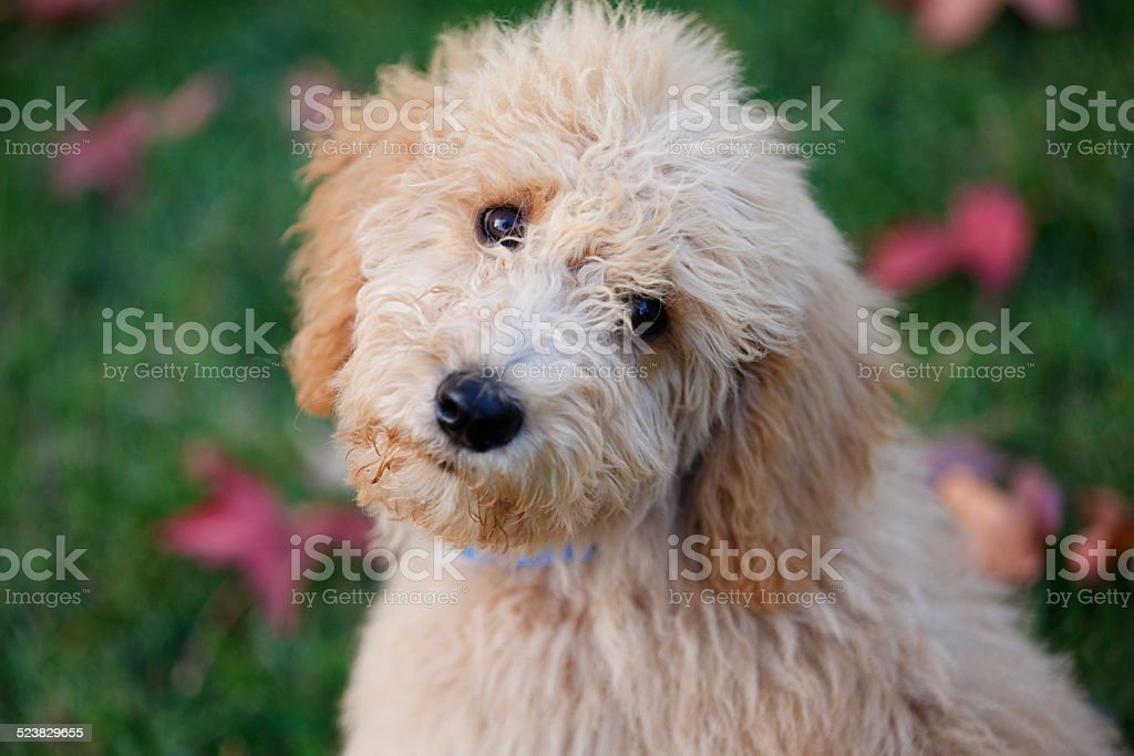 Adorable Labradoodle puppy stock photo