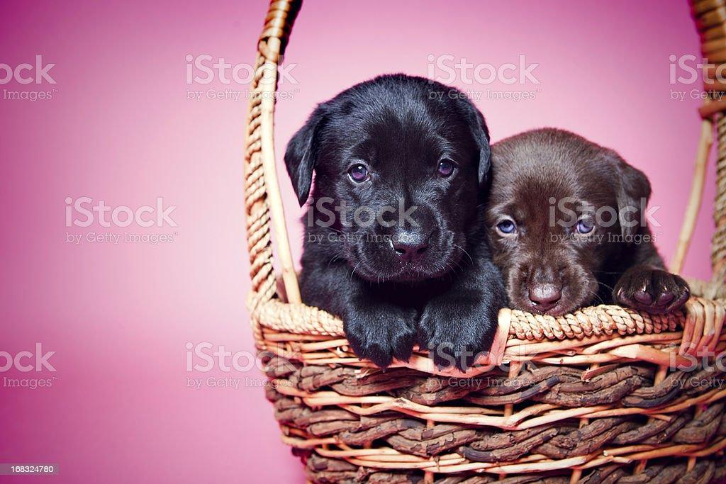 Adorable Labrador Puppies on Pink stock photo