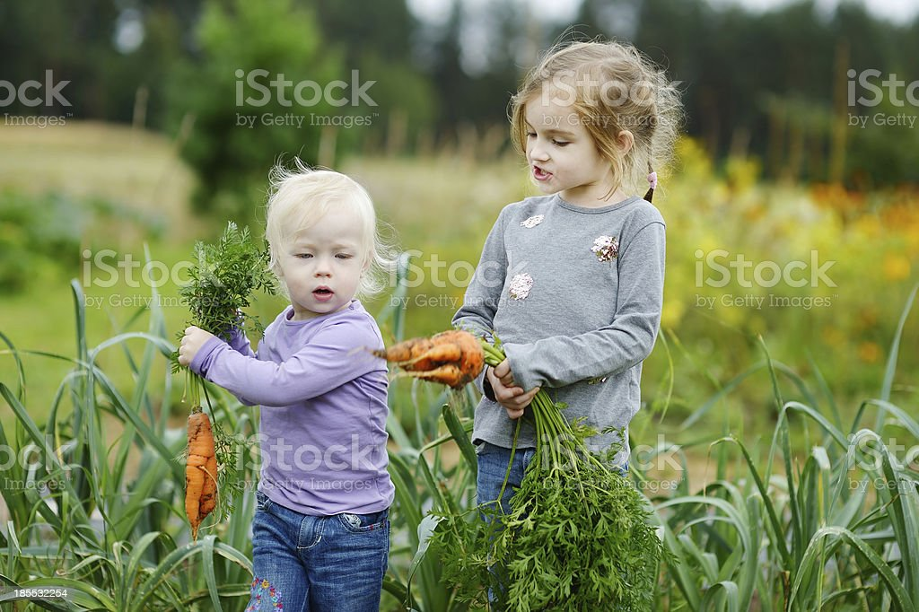 Adorable little girls picking carrots stock photo