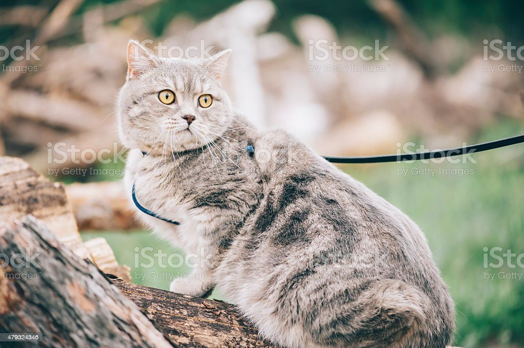 Adorable little scottish straight cat in the forest stock photo