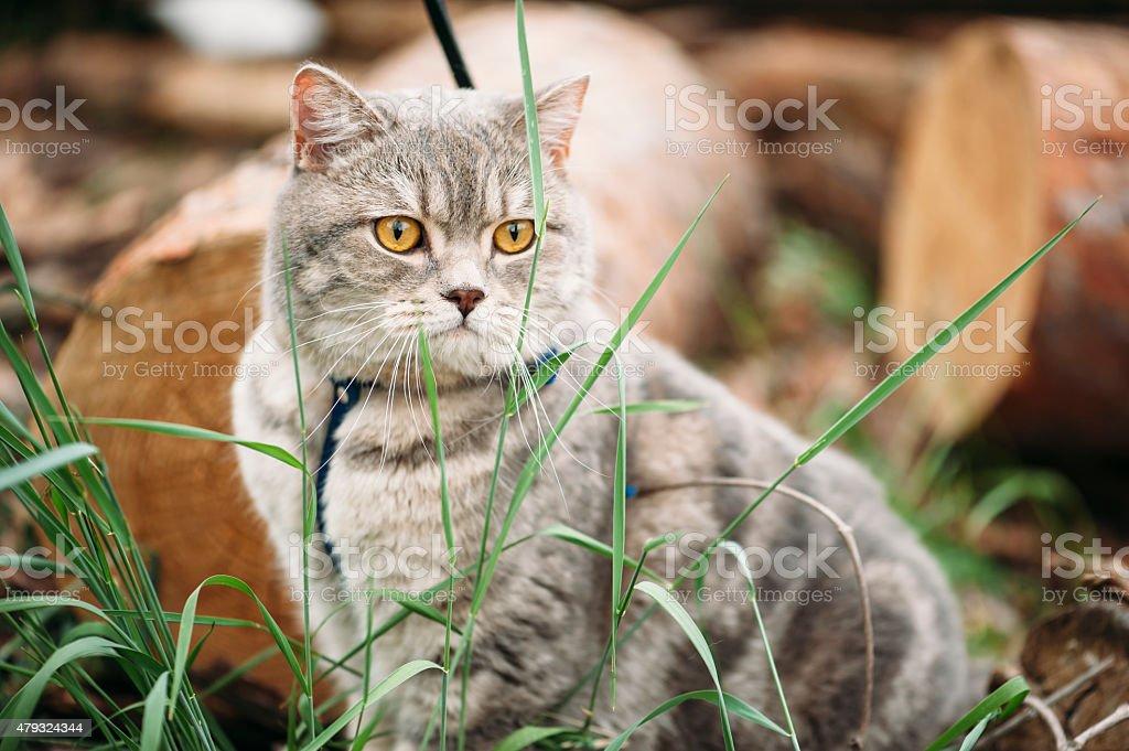 Adorable little scottish straight cat outdoors stock photo